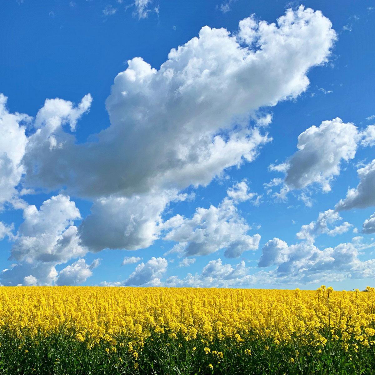 gula rapsfält mot blå himmel