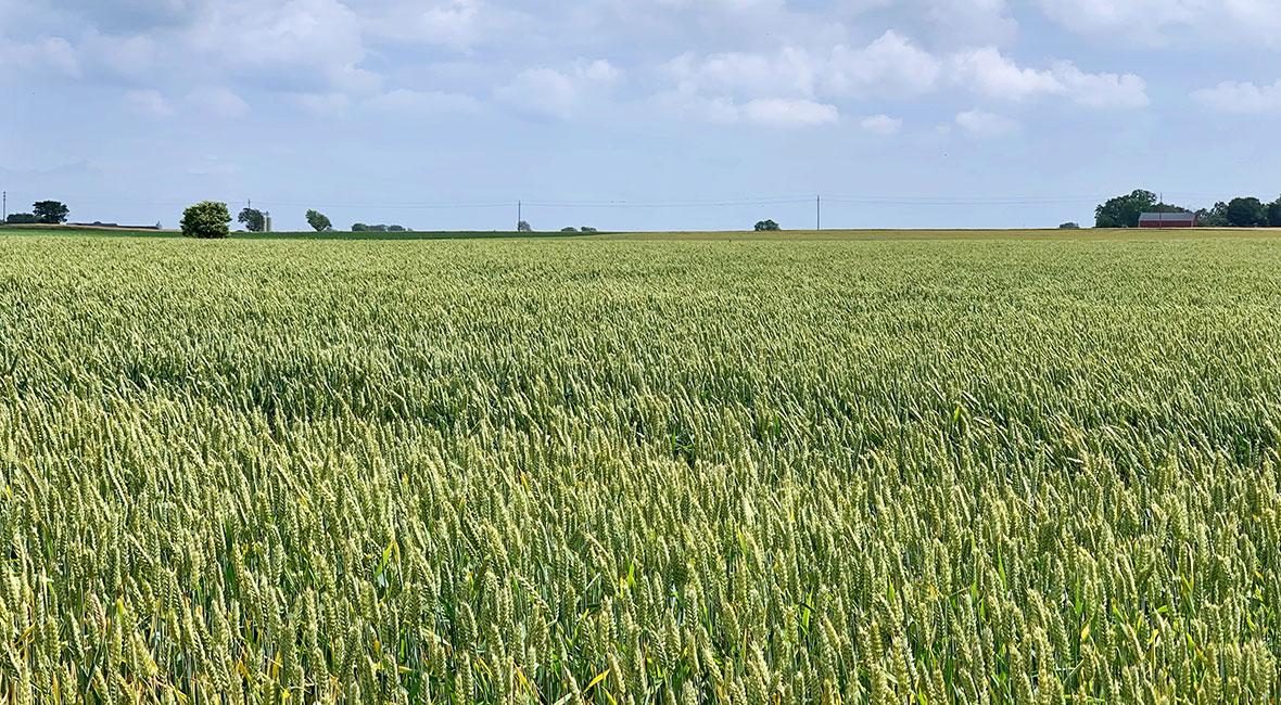 vetefält