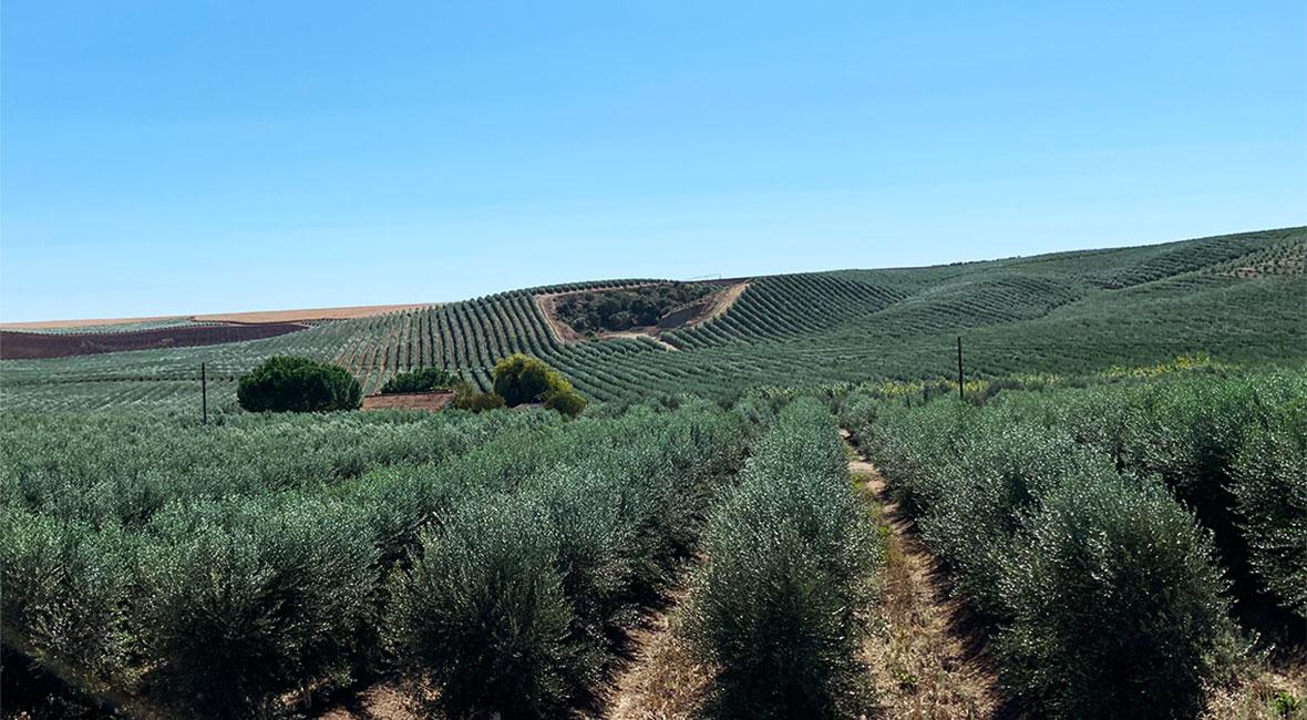 olivträd Serpa