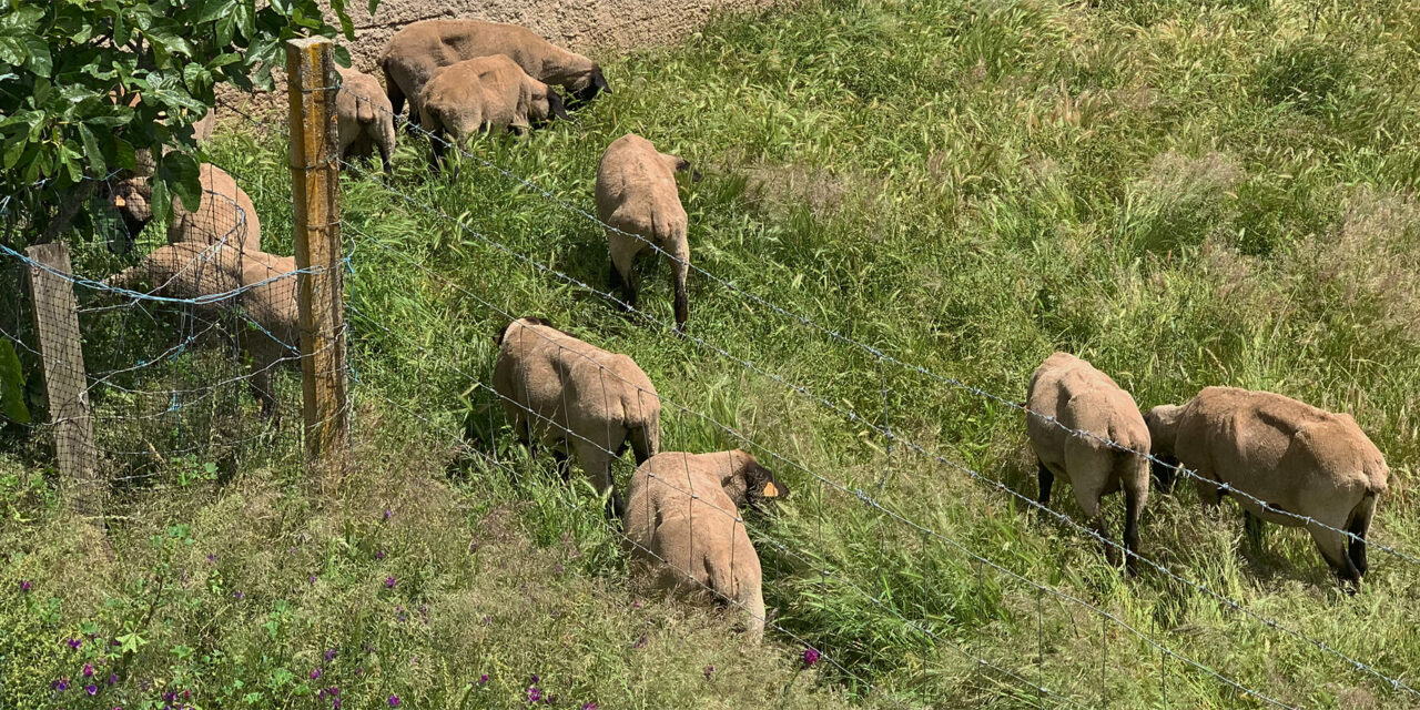 Sorg i fårhagen