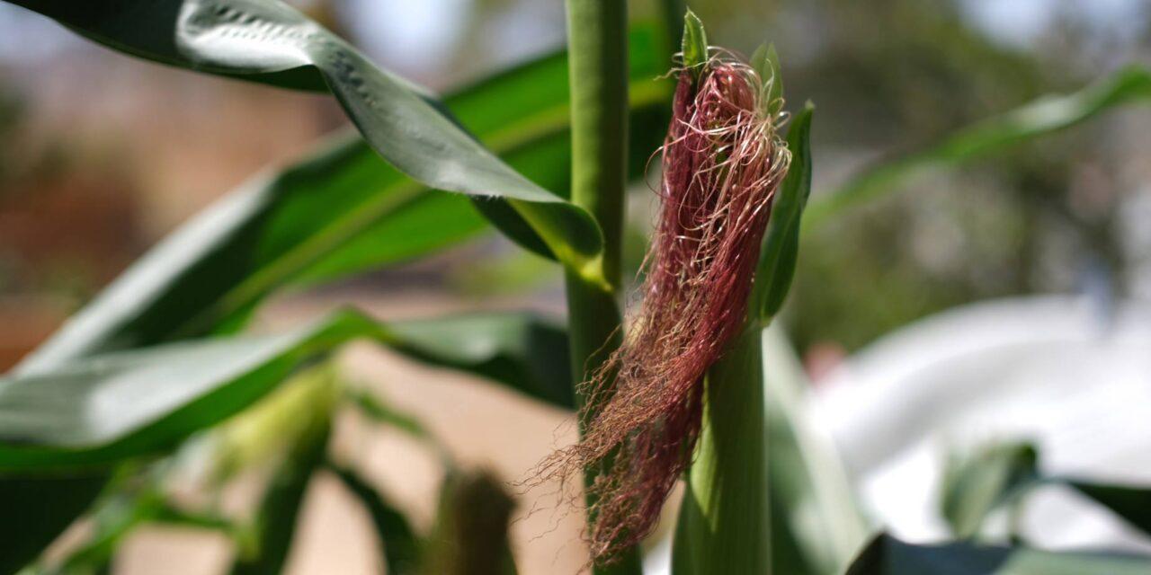 Sockermajs odling, skörd & förädling 2021