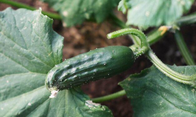 Gurka odling, skörd & förädling 2021
