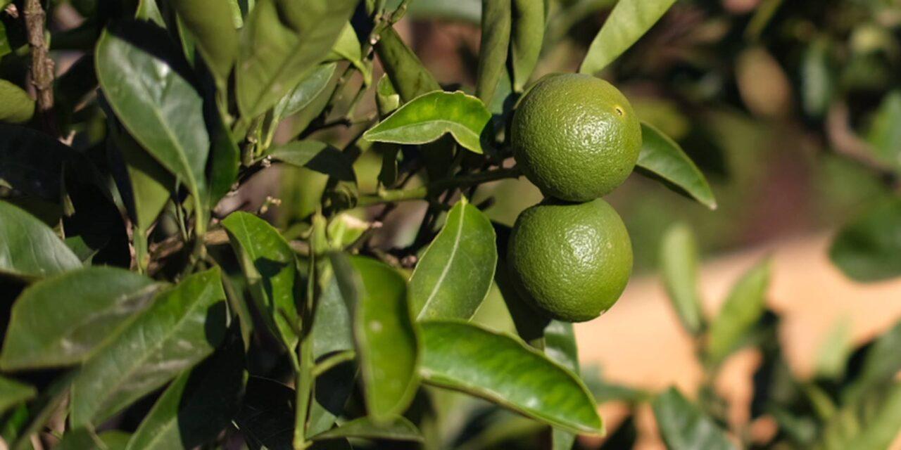 Det är inget citronträd!