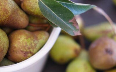 Förädlat de skördade päronen